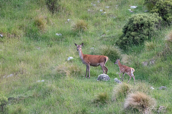 Red Deer Hind with Fawn