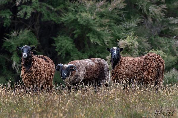 Wild Arapawa sheep with young male