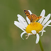 Common Copper Butterfly, female  (Lycaena salustius)
