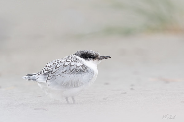 White-fronted Tern chick