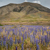 The Wild Borage fields at Molesworth Station