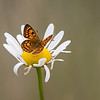 Common Copper Butterfly female   (Lycaena salustius)