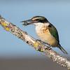 Sacred Kingfisher #44