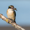 Sacred Kingfisher #43