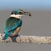 Sacred Kingfisher #2