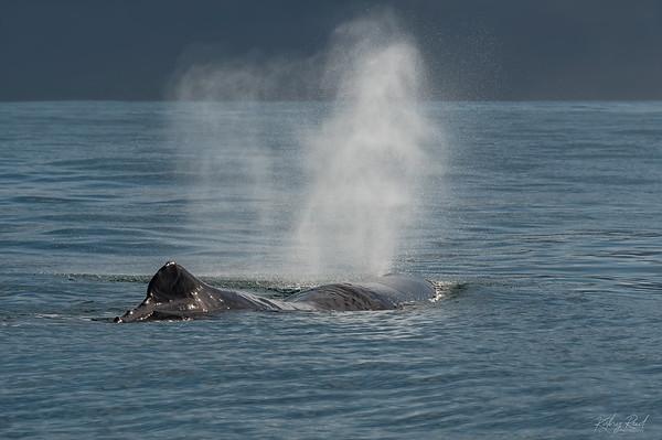 Sperm Whale, Kaikoura New Zealand