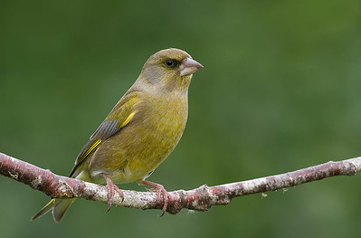 Greenfinch -  male