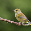 Greenfinch - male