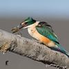 Sacred Kingfisher #14