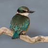 Sacred Kingfisher #20