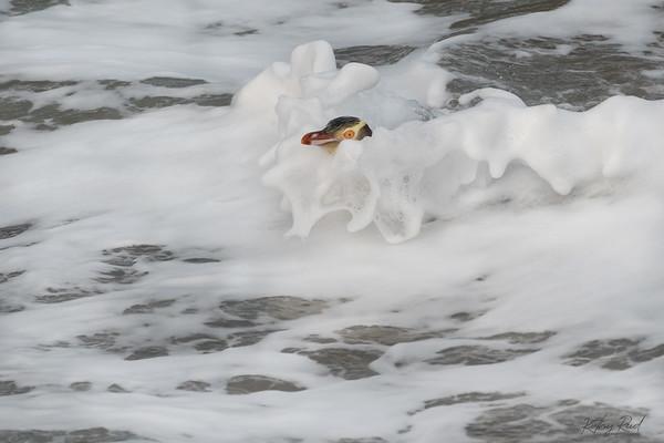 Yellow-eyed Penguin, Otago