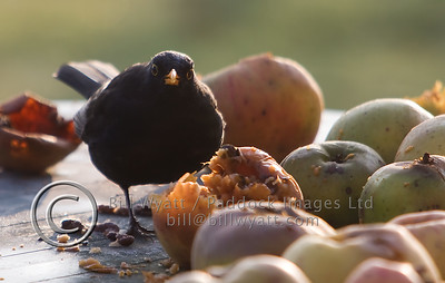 Blackbird Apples