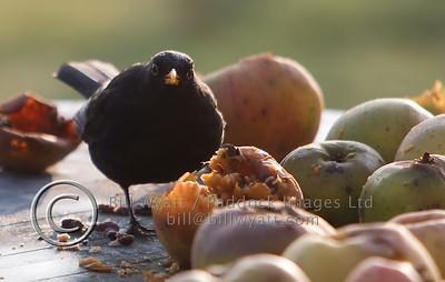 Blackbird Apples