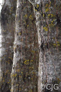 Aspen tree trunks.