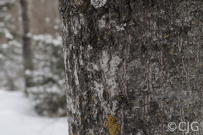 Aspen tree trunk with a snowy back ground.