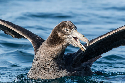 Northern Giant Petrel - Kaikoura
