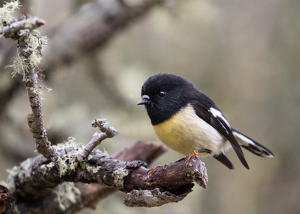 South Island Tomtit - male