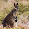 Red-necked Wallaby at the Nobbies, Point Grant - Phillip Island