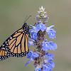 Monarch Butterfly - male
