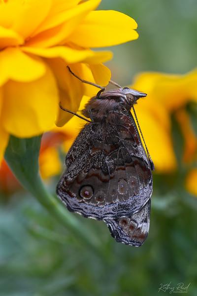Yellow Admiral Butterfly (Vanessa itea)