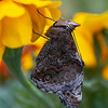 Yellow Admiral Butterfly (Vanessa itea)