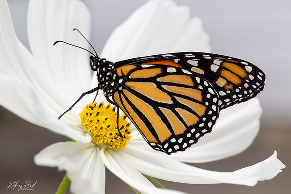 Monarch Butterfly - female