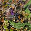 Canterbury Boulder Copper - male, Lycaena boldenarum.