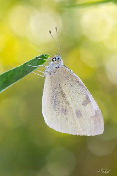 White Butterfly  -  Pieris rapae