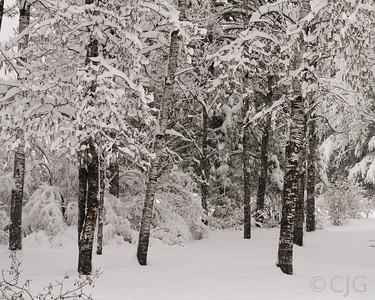 Snow in aspen trees.