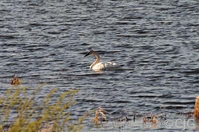 Crex Meadows  A Trumpeter Swan