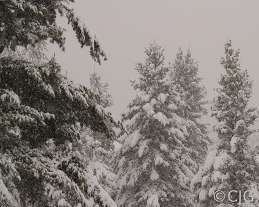 Snow Storm in the Pines