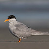 Black-fronted Tern