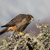 New Zealand Falcon  - female
