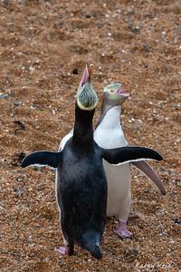 Pair Yellow-eyed Penguins