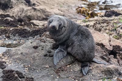 NZ Fur Seal Pup