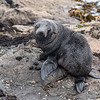 NZ Fur Seal Pup