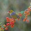 Silvereyes feeding on Coprosma Berries