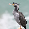 Spotted Shag, non breeding