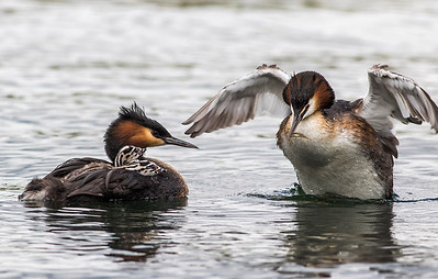 Female Grebe fluffing its wings also has a tiny fish for the chicks