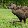 Young Western Weka chick