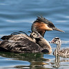 Australasian Crested Grebe with 2 chicks