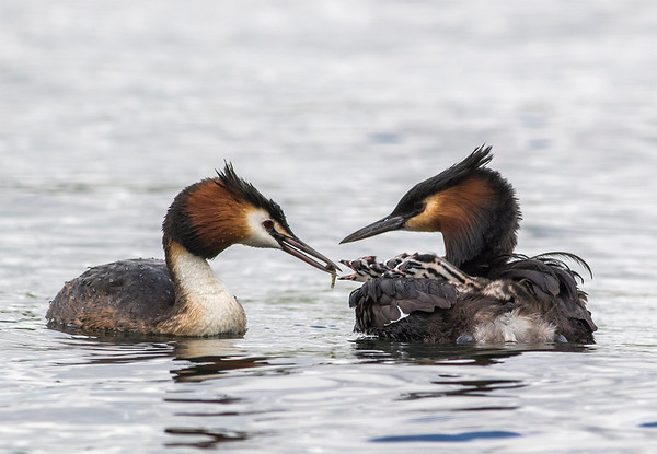 Female Grebe feeding chicks with a tiny fish