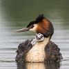 Male Crested Grebe and chick