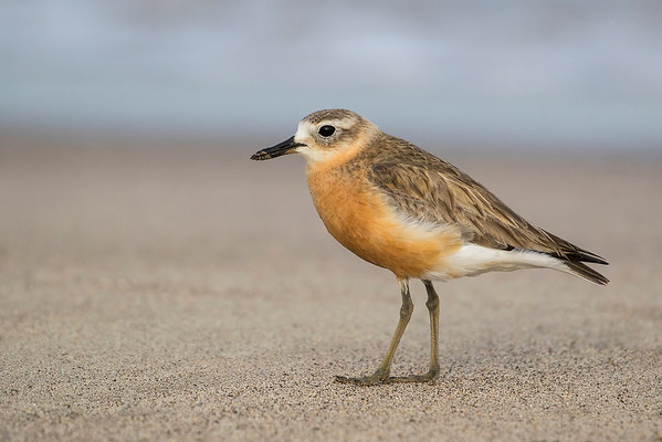 NZ Dotterel