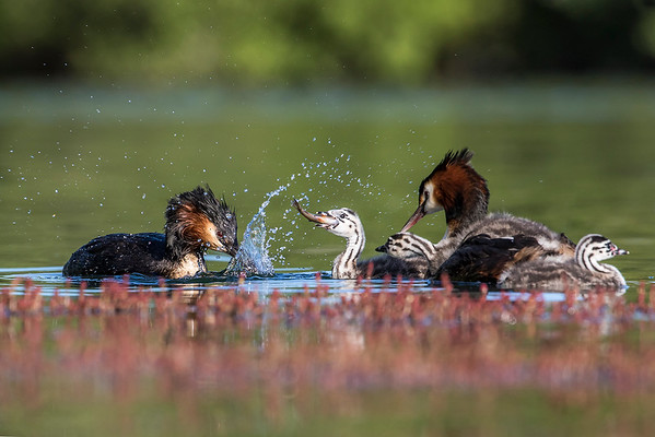 Crested Grebe family