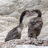 Spotted Shags chicks