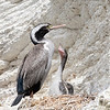 Spotted Shag with 2 chicks