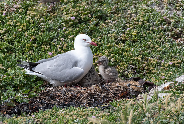 Red-billed Gull with 2 chicks
