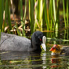 Adult Coot & chick