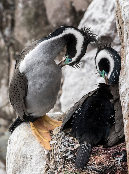 Pair of Spotted Shags